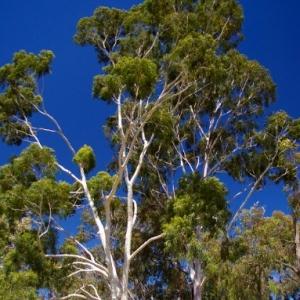 Eukaliptusz illóolaj Eucalyptus citriodora