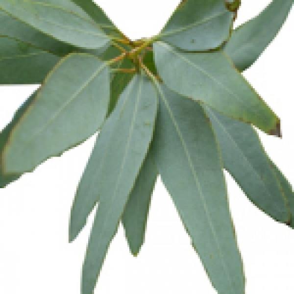 Eukaliptusz illóolaj Staigeriana