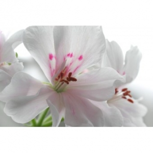 Geranium Rozsa illóolaj
