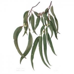 Eukaliptusz illóolaj Eucalyptus globulus