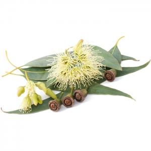 Eukaliptusz illóolaj Eucalyptus smithii
