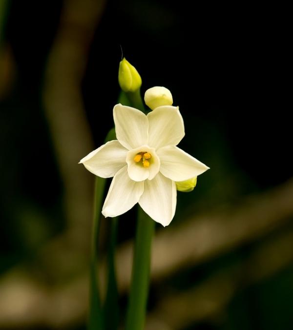 Fehér nárcisz abszolút