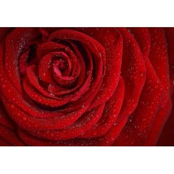 Rózsa abszolút