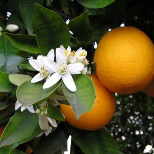 Narancsvirág aromavíz