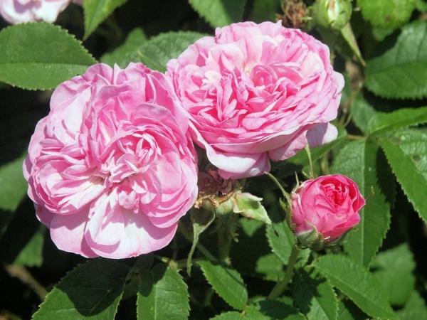 Rózsa aromavíz hidrolátum
